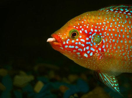 large cichlid: Beautiful big fish with a worm in his mouth. Portrait of a Hemichromis lifalili. Macro