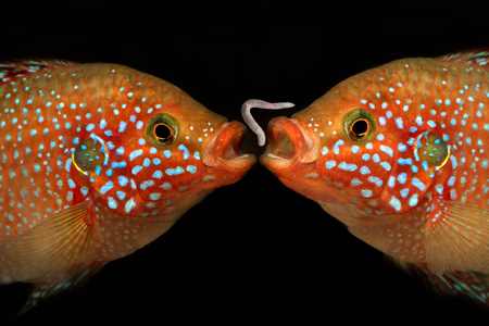 large cichlid: Two fish and a worm. Portrait of a Hemichromis lifalili. Macro Stock Photo