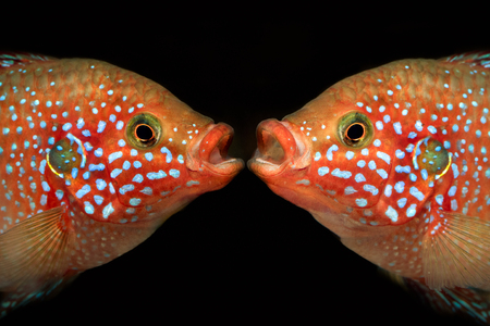 Familiarity of the two fish. Portrait of a Hemichromis lifalili. Macro