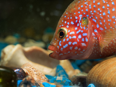large cichlid: Portrait of a large and beautiful aquarium fish