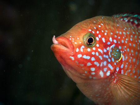 large cichlid: Portrait of a fish with a worm in his mouth