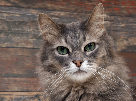Portrait of a gray cat with green eyes