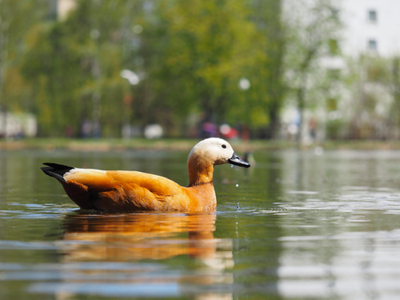 urban idyll: Beautiful redhead duck floating in the pond.