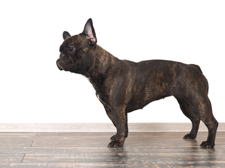 Dog French bulldog worth it. White background