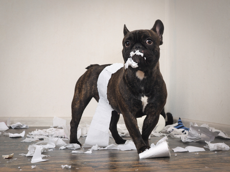 Un chien drôle a fait un gâchis dans la salle. Chiot ludique Bulldog français Banque d'images - 78494504