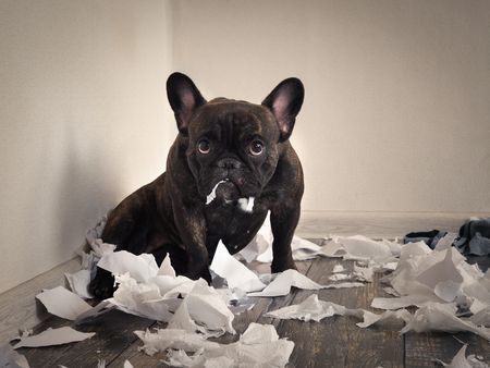 Winy psa bałagan w pokoju. Figlarny szczeniak francuski bulldog