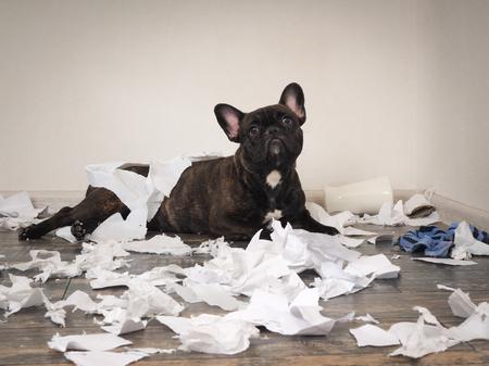 Un chien drôle a fait un gâchis dans la salle. Chiot ludique Bulldog français Banque d'images - 78526789