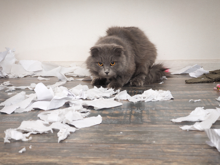 Angry cat tore up important papers and made a mess on the floor Archivio Fotografico