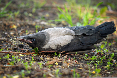 Nestling crows fell out of the nest