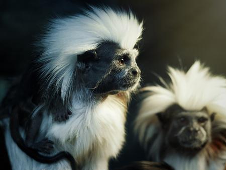 Oedipus Tamarin. Portrait d'un singe inhabituel Banque d'images - 79735706