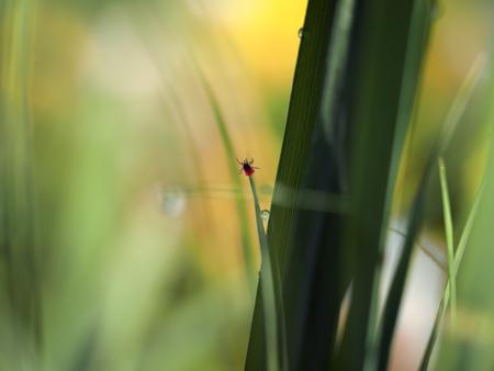 Tik op encefalitis op een klein grassprietje
