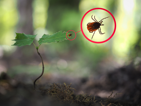 Tick encephalitis in a young plant in the forest Archivio Fotografico