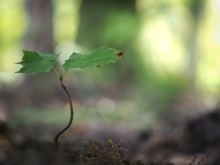 Tick encephalitis in a young plant in the forest Stock Photo
