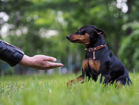 The dog gives a paw man. The concept of friendship of the pet and the owner, loyalty and devotion. Nature, green grass Stock Photo
