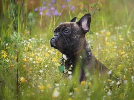 Funny dog. The bulldogs face in the pollen of plants. Tall grass, flowers