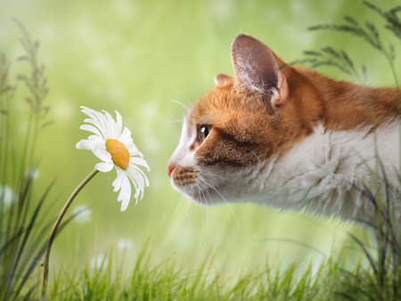 Cat sniffing the flower is a Daisy. Beautiful natural background Imagens - 81559749