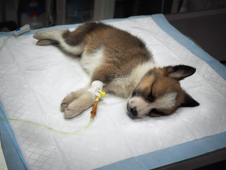 enteritis: Illness puppy with intravenous anything on the operating table in a veterinary clinic