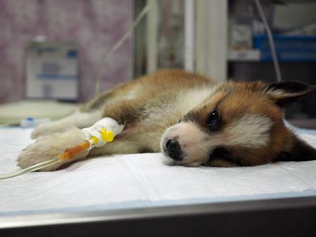 獣医クリニックのオペレーティング テーブルの上に何か経静脈的病気の子犬