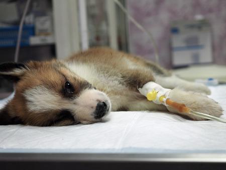 Ziekte puppy met intraveneus alles op de operatietafel in een diergeneeskunde Stockfoto