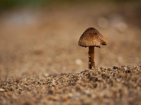 Mushroom toadstool growing in the sand. Macro Stock fotó