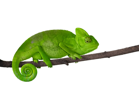 Chameleon on a branch with a spiral tail. Green bright color