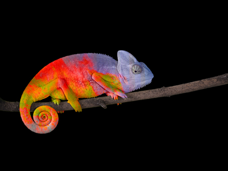 Colorful Chameleon on a branch with a spiral tail.
