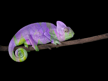 chameleon on a branch with a spiral tail. Purple and green Stock fotó