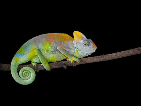Chameleon on a branch with a spiral tail. A gray-green color scales