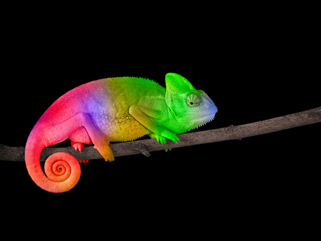 Chameleon on a branch with a spiral tail. Bright colorful rainbow color scales Banque d'images