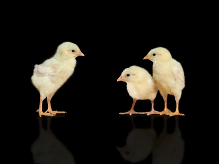 Chickens on black background. The concept of communication, growing up Stok Fotoğraf - 87254325
