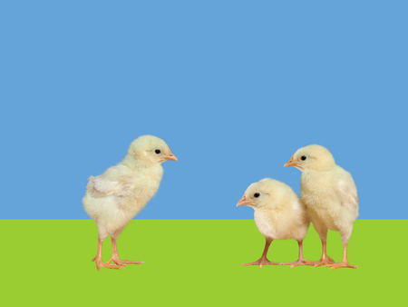 socialization: Chickens on a background of blue and green