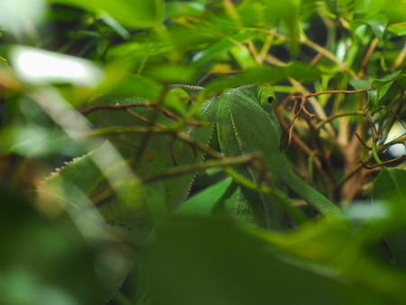 Green chameleon hid among the leaves so green