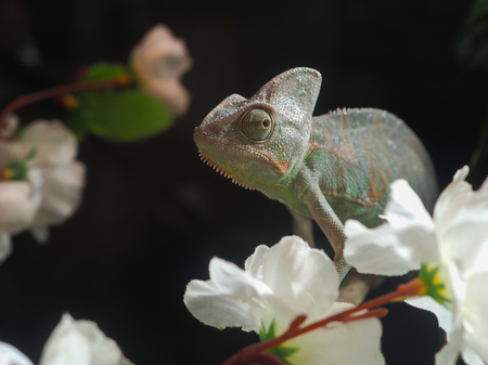 opinions: Portrait of a sad chameleon among white flowers