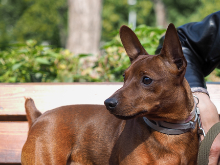 smooth: Portrait of a cute breed dog puppy Pinscher Stock Photo