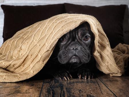 Increíble cara de perro. Divertido Bulldog escondido bajo una cálida manta