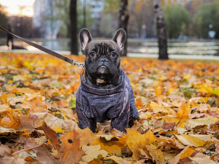 Dog in a warm jacket on a walk in the Park. Autumn leaves
