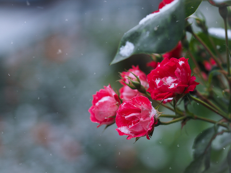 Rose flower drops and snow flakes. onset of winter Stock Photo