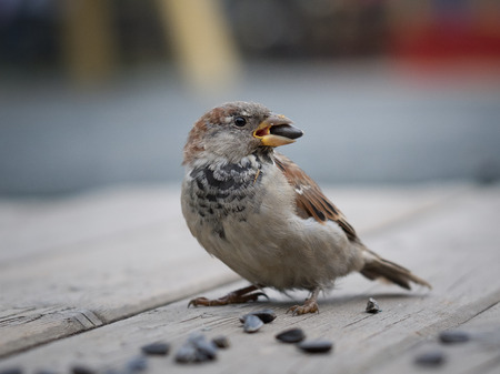 A Sparrow with a sunflower seed in its beak. Wood flooring
