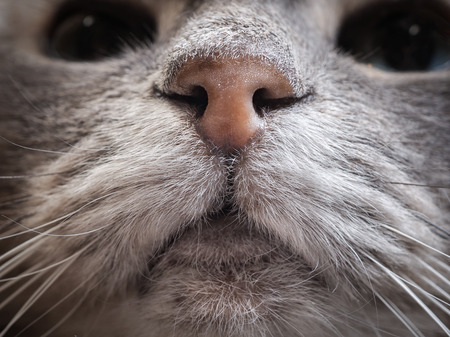 Nose grey cat. Macro moustache and hair of the animal