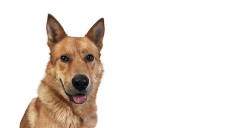 A portrait of big red dog. White background
