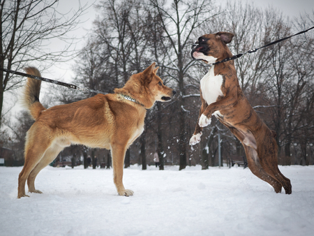 Two different breeds of dogs meet on a walk. The boxer jumps high 스톡 콘텐츠