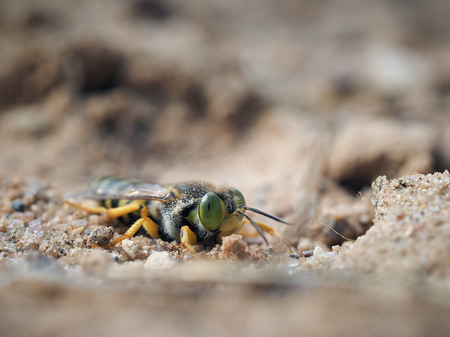 Bembix rostrata in the sand. Portrait of a sand wasp Stock Photo