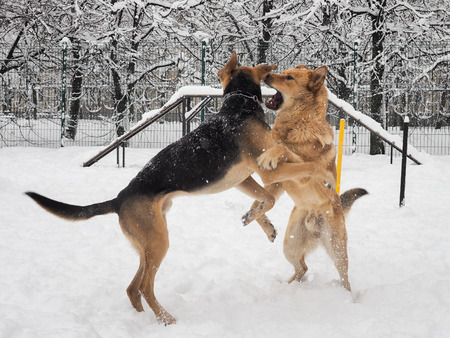 Big scary dogs are playing on the Playground Stock Photo