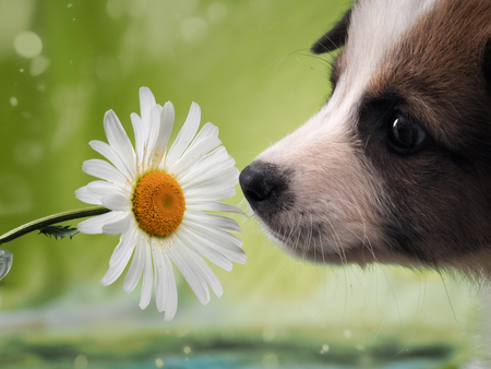 Dog smelling the flower. Funny puppy face Stock Photo