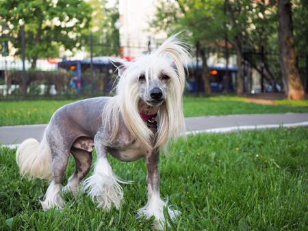 Portrait of Chinese crested dog with funny hair.