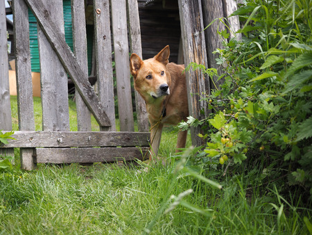 Big dog looks over the old fence in the garden