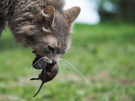 The cat caught the mouse. Nature, grass. Portrait of cat with prey Archivio Fotografico