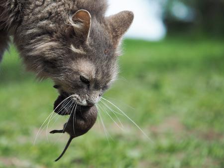 Die Katze fing die Maus auf. Natur, Gras. Porträt der Katze mit Beute