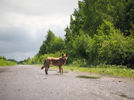 Big red dog standing on a country road