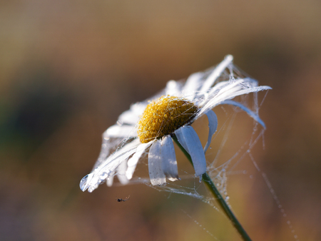 Daisy flower and spider web in dew drops. Imagens